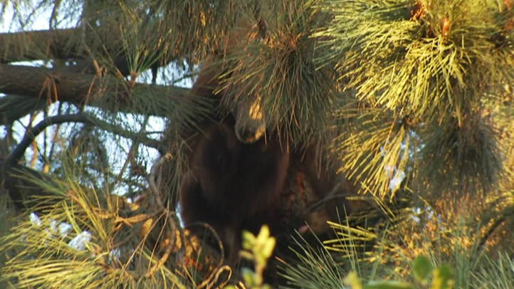 A bear and her cub were spotted in a tree in a Monrovia neighborhood on Wednesday, Sept. 10, 2014.