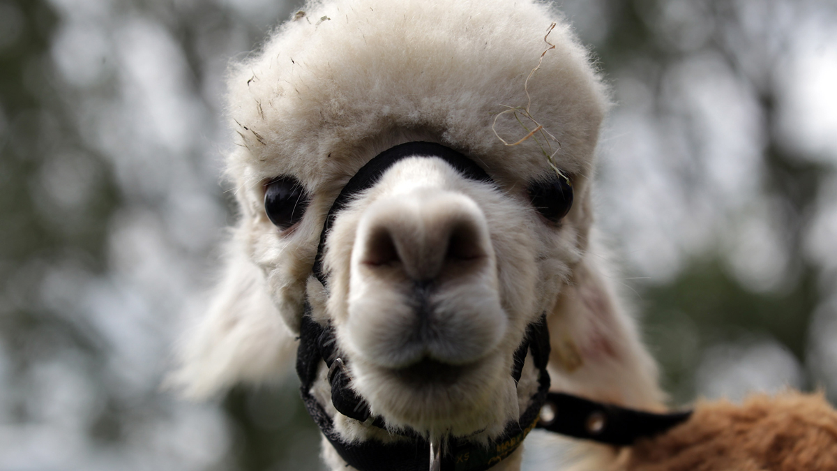 A llama looks out of its pen at the Royal Bath And West Show on May 30, 2012, in Shepton Mallet, England. (Photo by Matt Cardy/Getty Images)