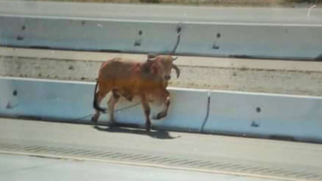 An escaped bull wandered onto the 15 Freeway near Victorville on Saturday, May 16, 2015.