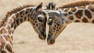 GiraffeCalvesCongoSiri_001_Web