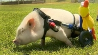 Adorbale Disabled Pig Grows Star Power