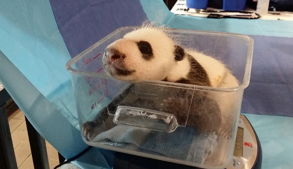 Bei Bei weighed close to three pounds at nearly one month old on Sept. 21.