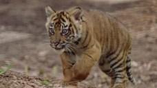 3 Sumatran Tiger Cubs Born at San Diego Zoo
