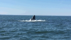 Whale Spotted in Long Island Sound