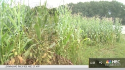 Dry Conditions Could Affect Pumpkin Crop
