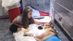 German Shepherd Gets Bitten by Rattle Snake, Protects 7-Year-Old Girl