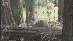 Newington Residents On Alert After Bobcat Sightings