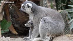 Baby Lemurs Make Their Debut at Bronx Zoo