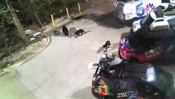 Bears Invade Television Station