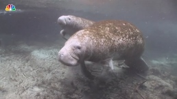 Manatee Deaths on Track to Reach Record High