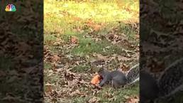 NJ Squirrel Runs Off With Half a Slice of Pizza, Video Shows