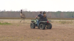 RAW: Emu on the Loose!