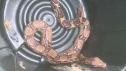 Snake Discovered Underneath Hood of Car