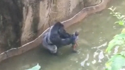 Video: Gorilla Grabs Boy at Zoo