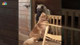 Golden Retriever Forms Special Bond With Neglected Mini Rescue Horse