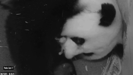 It's a Boy! National Zoo Reveals Sex of Panda Cub