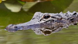 11-Foot Alligator Linked to Texas Man's Death Shot, Killed