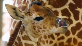 Giraffe at Dallas Zoo Breaks Neck, Dies
