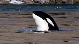 Bad Breath: Study Find Array of Bacteria When Orcas Exhale