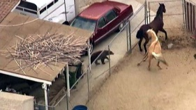 Wandering Bear Surprises Horses in Corral