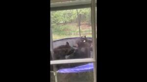 Bears Play on Trampoline in Avon