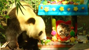 Adorable Zoo Babies: Panda Turns 2