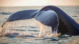 Whales Put on a Show in Monterey Bay