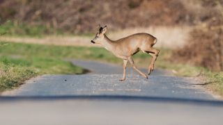'Are You Going to Eat That?': Eating Road Kill Now Legal in Calif.