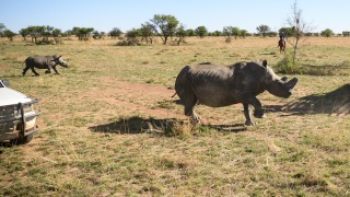 In Rare Reversal of Fortunes, African Rhino Injures Poacher