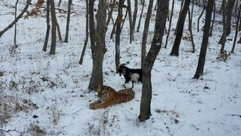 Goat-Tiger Odd Couple May Be Over