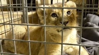Causing an Uproar: Lion Cub Seized From Lamborghini in Paris