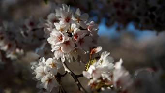 How Cherry Blossoms Are Impacted by Climate Change