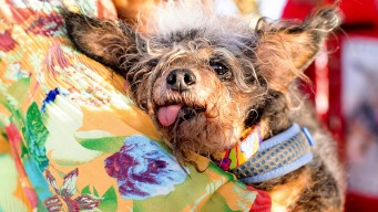 Calif.'s Scamp the Tramp Wins World's Ugliest Dog Contest