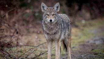 Pack of Coyotes Roaming Columbia Neighborhood: Police