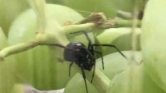 Branford Woman Finds Black Widow Spider in Grapes