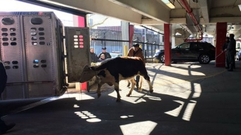 Cow Escapes NYC Slaughterhouse, Leads Cops on Chase