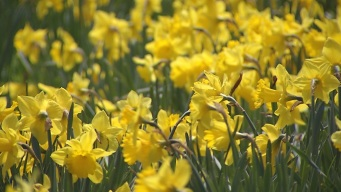 This Weekend : Meriden Daffodil Festival