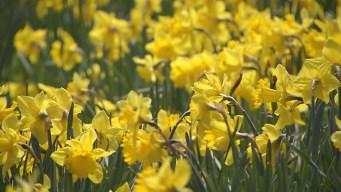 This Weekend : Meriden Daffodil Festival
