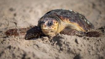 Norwalk Aquarium Seeks to Stop Turtle Deaths