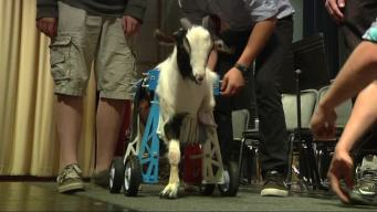 Students' 3D-Printed Wheelchair Gives Goat Mobility