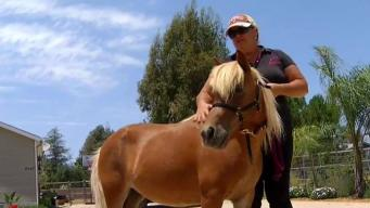 Rescued Miniature Horses to Provide Therapy for Wounded Veterans