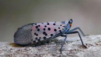 Invasive Bug Spotted in Connecticut