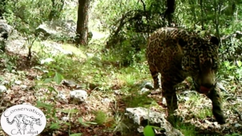 Last Known Wild Jaguar in U.S. Shown on Video