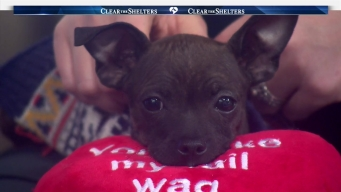 Churro the Chihuahua Needs a Home