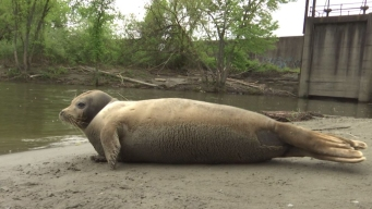 Harbor Seal Spotted in Connecticut River in Massachusetts
