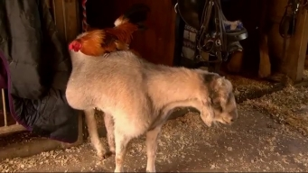 Elderly Goat and Rooster are Barnyard Best Friends