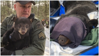 Mother Bear, Cubs Removed From Den in Highway Median