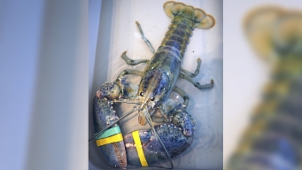 Man Beats Odds of Catching Blue Lobster