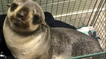 Fur Seal Pup Found in Calif. Yard Miles From Ocean