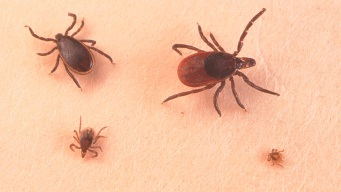 They're Back! Numbers of Ticks are High Across New England